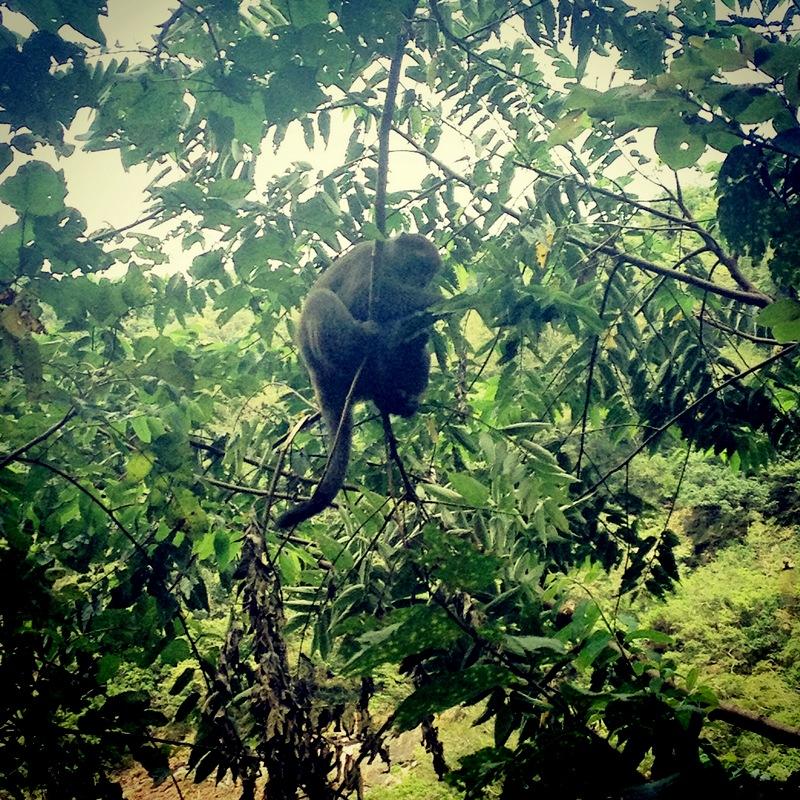I opicu jsme viděli - přímo nám nad hlavou užďubovala bobule a všichni turisti jí byli putná.